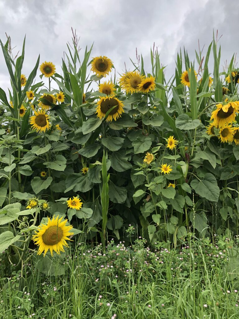 Mais-Sonnenblume